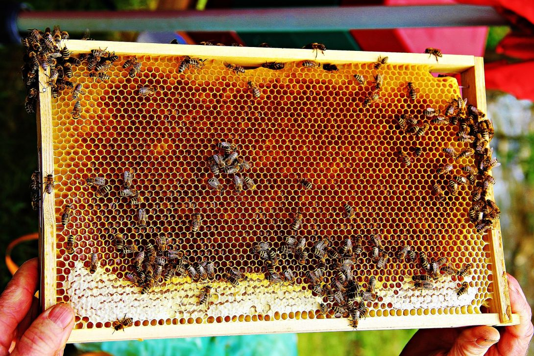 Pszczeli antybiotyk – propolis, kiedy po niego sięgnąć ?